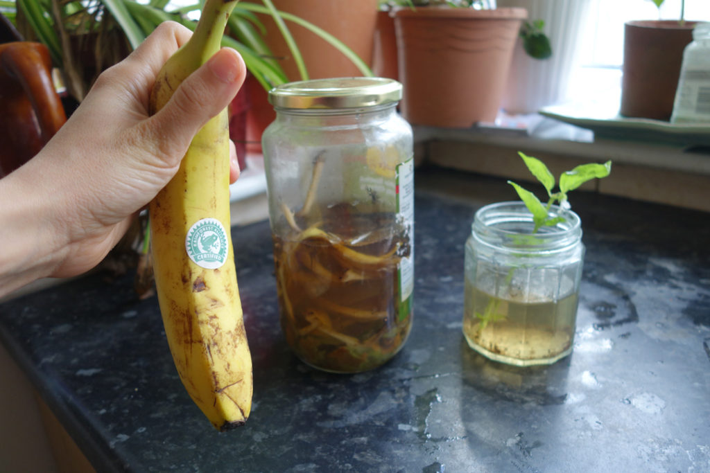 Natural homemade fertiliser - Banana peels